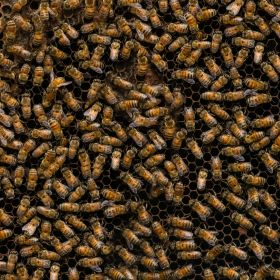 3lb package of Carniolan Bees with Marked Queen. No shipping. Avaialbe for pickup in Eugene Oregon on April 24 and April 25 2020.