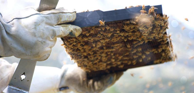 Beekeeping Gloves: Are They Necessary? The Answer May Surprise You...