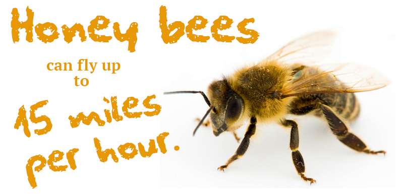 Giving Bees Sugar Water: Healthy or Hazardous?
