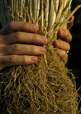 hands holding vetiver roots